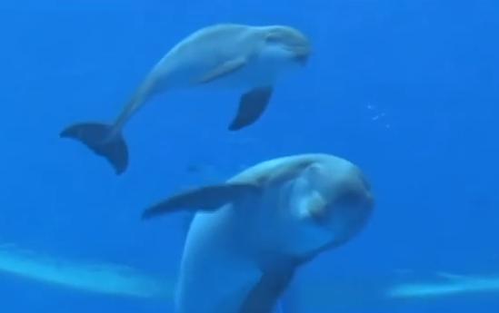 イルカが出産、生まれてすぐ元気よく泳ぐ赤ちゃん