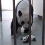 台湾の母パンダ、赤ちゃんと一ヶ月ぶりの再会