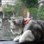 車のワイパーに反応する猫