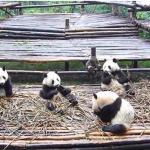 パンダのお食事タイム