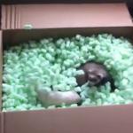 梱包材で遊ぶフェレット