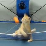 猫は卓球のエキスパート