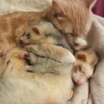 猫の愛情を受けるフェレット