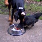 ニワトリに餌を盗られるドーベルマン
