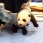 生後8周目のパンダの鳴き声