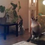 """""""ヴァンヘイレンのジャンプ""""にあわせてジャンプする猫"""