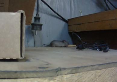 クラッカーを手に入れるため頑張るネズミ