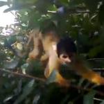 猿にモバイルを盗まれそうになる映像