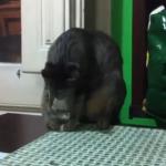 テーブルの上の猫、やっちゃったー