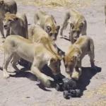 ラジコンカメラでライオンを間近で撮影