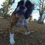 2本足で駆け回る後ろ足の無いボクサー犬