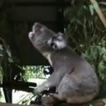 野獣のような唸り声を上げるコアラ