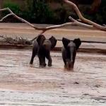 走って母親の元に向かう2頭の子象