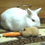 ハムスーターに人参を盗まれたウサギ
