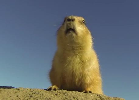 プレーリードッグの巣穴の近くにカメラを設置