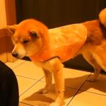服を着ると行動できなくなる柴犬