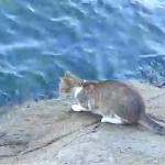 泳ぐ魚を狙うニャンコ