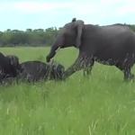 アフリカ水牛、象に軽く頭を蹴られたので仕返し