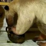 アボカドを食べるアリクイ