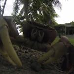 巣にカメラ(GoPro)を引きずり込もうとするカニ