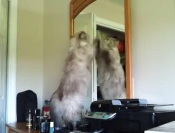 猫、鏡に映る自分と対戦中?