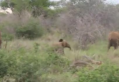 母親に追いつくのに必死な象の赤ちゃん