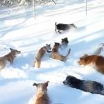 積もった雪に大喜びな犬の群れ