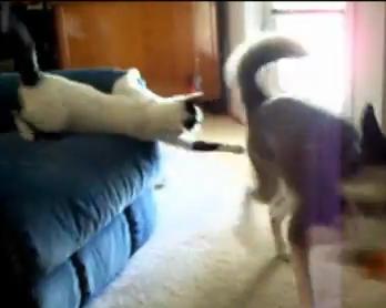 ハスキー犬にパンチ攻撃した猫の誤算