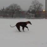 お洒落?な服を着て雪上を走り回るグレーハウンド