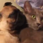 猫の腕枕でパグ犬爆睡、困ったニャン