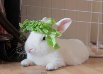 ウサギの頭にレタス帽子