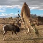 ラクダを挑発した山羊
