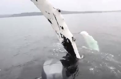 ザトウクジラのが釣り人にヒレショー