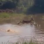 ジャンピング川渡りをするインパラを捕獲するワニ