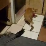 ネズミに襲われる猫
