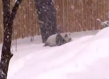 寒さに強いジャイアントパンダの雪遊び