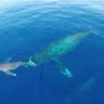 イルカとクジラをカメラ搭載ラジコンヘリで撮影