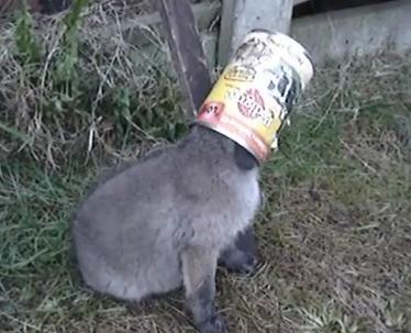 缶詰の缶が抜けなくなったキツネの赤ちゃんの救助