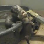 水に慣れる訓練をさせられるカワウソの赤ちゃん
