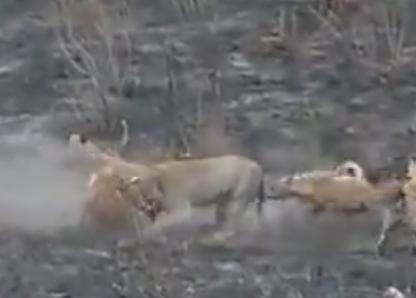 ハイエナの群れ vs. 1頭の雌ライオン