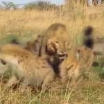 若い雄ライオン vs. ハイエナの群れ