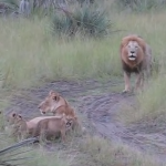父ライオンの大きな唸り声を真似する赤ちゃん