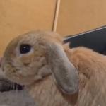 なで続けないと変な声で起こるウサギ