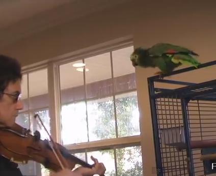 バイオリンを演奏を聴くオウムが驚きの行動