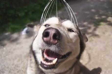 ヘッドマッサージを受けるハスキー犬