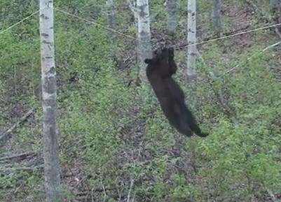 クマの握力、木登り力が高いことを証明する映像