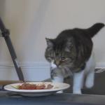 トレッドミルを使った猫の運動不足解消法