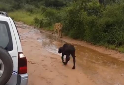 ライオンに狙われるバッファローの子供にミラクル