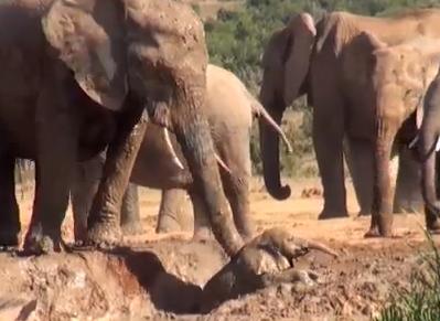 沼地から抜け出せなくなった子象を母親が救出