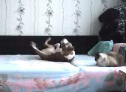 飼い主不在中はベッドで遊びたい放題